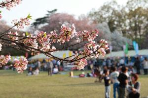 桜まつりの会場
